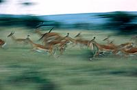 Herd of Impala stampeding