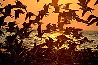 Flock of seagulls in flight at sunset