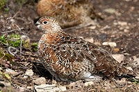 Alaska , Katmai National Park and Preserve , Wlllow Grouse  Ptarmigan  Lagopus lagopus  , Order : Galliformes , Family: Tetraonidae.
