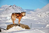 Dog for a sledging, Kulusuk village, winter,Greenland
