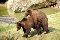 Young brown bears Ursus arctos in National Park Bavarian Forest, Germany