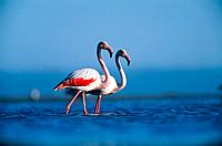 Flamingos standing in water