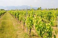 Tuscany Italy Wine Region Mediterranean Vineyard