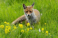 Red Fox Vulpes vulpes in flowering meadow, Monti Sibillini National Park, Umbria, Italy