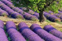 Lavender (Lavandula angustifolia) field with trees  Valensole, Plateau de Valensole, Alpes-de-Haute-Provence, Provence-Alpes-Cote d'Azur, Provence, Pr...