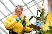 Researchers Analyzing Genetically Engineered Corn