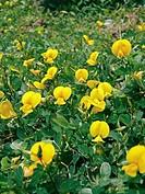 Bristly Smithia, Smithia setulosa, Plateau of flowers, Kaas, Satara, Maharashtra, India