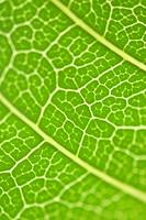 Micro detail mango green leaf yellow nerves