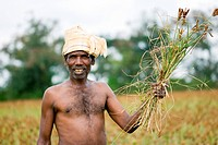 Farmer holding crop of finger millet , Belur , Hassan , Karnataka , India MR763I