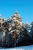 forest at sunny winter day