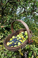 Wooden trug with hedgerow harvest of Crab apples and sloes berries, Norfolk, UK, September
