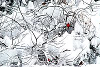 A red cardinal sits on a branch in a snowy bush.
