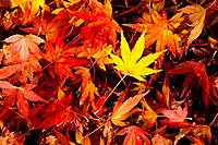 An array of fall colors captured in the red maple leaf.