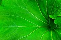 Large Green Leaf