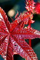 Red Leaf of Castor Oil Plant