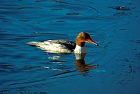 Swiss, St. Gallen, Switerland, avian, waterfowl, geese, goose, duck, ducks, Goosander, Mergus merganser, floating
