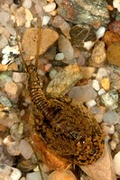 arctic tadpole shrimp Lepidurus arcticus, female on the ground, Norway, Svalbard, Longyearbyen