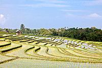 Indonesia, Asia, Bali Island, Rice, fields, terraces, rice, rice fields, tropical, traditional, agriculture