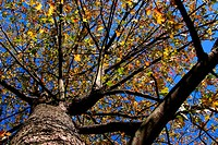 Autumn tree looking up