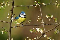 blue tit Parus caeruleus, sitting on branch, Germany, Rhineland_Palatinate