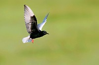 white_winged black tern Chlidonias leucopterus, hovering, Hungary, Kiskunsag National Park