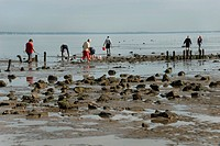 shell collectors at the ´Passage du Gois´, a road to the le de Noirmoutier accessible at low tide, France, Vendee, le de Noirmoutier