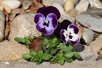 horned pansy, horned violet Viola cornuta, blooming