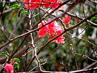 Spring, three_marys, ceboleiro, santa_rita, thorn_in_santa_rita, bunganvilla, lilac, rose, bougainvillea, Rio de Janeiro, Brazil