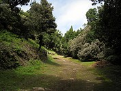 tree heath Erica arborea, trekking path in Laura Silva in Garajonay National Park with blooming Tree Heath, Canary Islands, Gomera, Garajonay National...