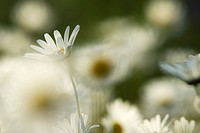Close up of ox_eye daisy