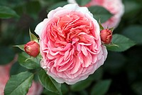 ornamental rose Rosa ´Chippendale´, Rosa Chippendale, cultivar Chippendale
