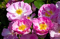 ornamental rose Rosa ´Escapade´, Rosa Escapade, cultivar Escapade