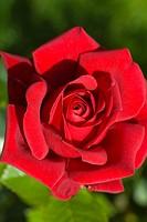 ornamental rose Rosa ´Rouge Adam´, Rosa Rouge Adam, cultivar Rouge Adam