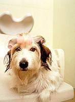 Yorkshire terrier with curlers