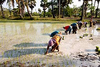 Farmers Planting Rice in Cambodia.