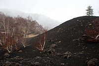 Etna birch, White Birch Betula aetnensis, Betula pendula ssp. aetnensis, volcanic landscapes at Mount Etna, Italy, Sicilia