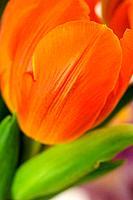 Beautiful fresh tulip