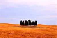 Italy, Tuscany, Val d'Orcia, cypress trees in field