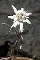 edelweiss Leontopodium alpinum, blooming, Austria, Hohe Tauern National Park