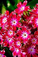 white pink dianthus flower