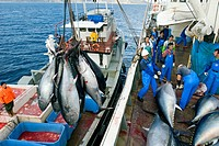 tunny, blue_fin tuna, blue_finned tuna, northern bluefin tuna Thunnus thynnus, Japanese fishing ship crew cutting and cleaning fishes lying on deck, T...