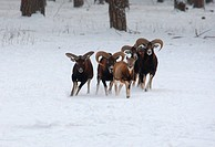 mouflon Ovis musimon, Ovis gmelini musimon, group in winter, Germany