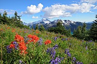 Field of wildflowers, Garibaldi Provincial Park, British Columbia, Canada