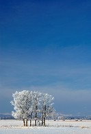 Frosted trees near Water Valley, Alberta, Canada