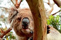 Staring koala