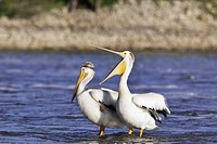 American White Pelicans sharing a submerged rock on the Red River. Lockport, Manitoba, Canada.