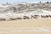 Herd of Elk/ Wapiti cervus elaphus running across field and leaping over fence.