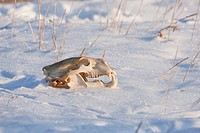 A Polar Bear skull Ursus maritimus laying in the snow amongst sea lyme grass along the coast of Hudson Bay near the Seal River estuary north of Church...