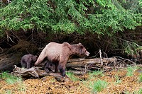 A sow Grizzly ursus Arctos and her two young cubs walk the shoreline looking foraging for food in the Khutzeymateen protected Grizzly preserve, North ...