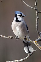 The Blue Jay Cyanocitta cristata. Passerine bird in the family Corvidae. Native to North America. Lake Superior. Winter. Minnesota. Ontario.